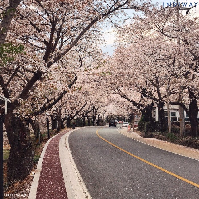 Hwagae is a beautiful place to see cherry blossoms in Korea