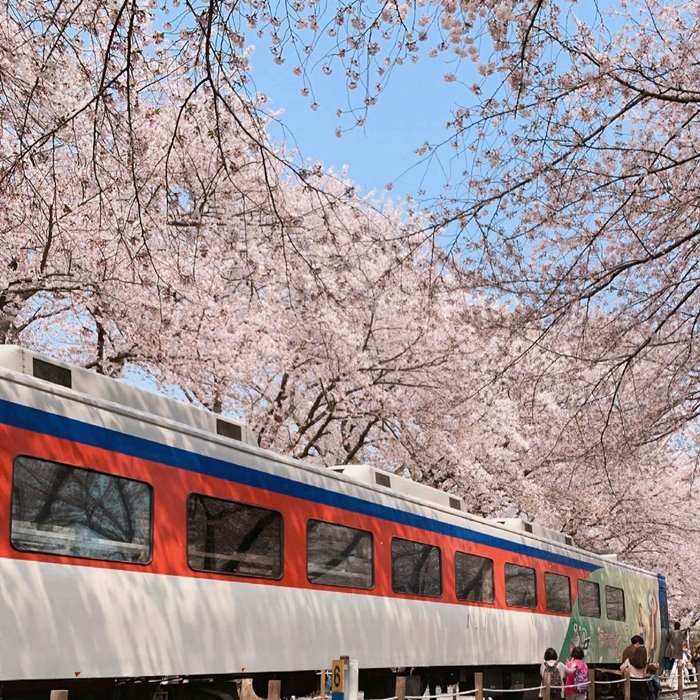 Jinhae is a beautiful place to see cherry blossoms in Korea