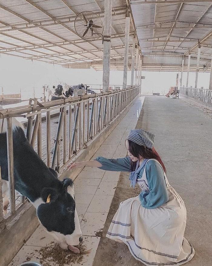 Lưu ý khi đến trang trại bò sữa Dairy Farm