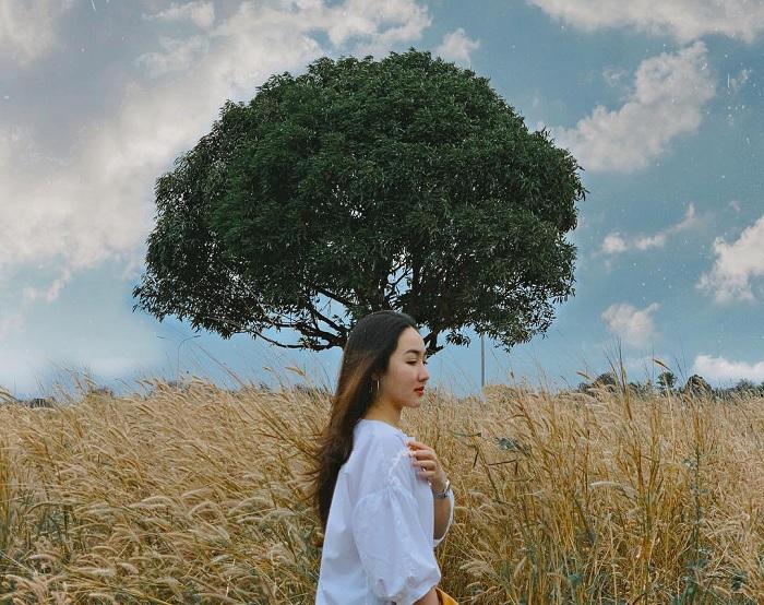 cây cô đơn ở Đắk Lắk gây sốt - cây xoài ở đồi cỏ hồng