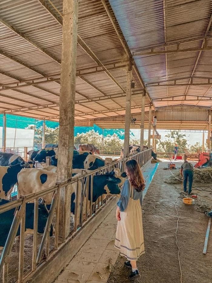 Chụp hình ở trang trại bò sữa Dairy Farm