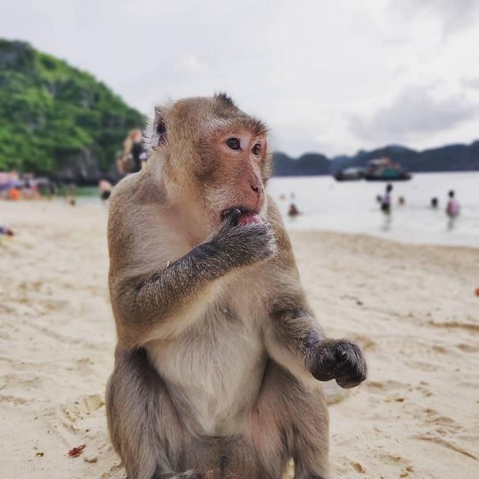 khỉ ăn quả - điểm thú vị tại Đảo Khỉ Cát Bà