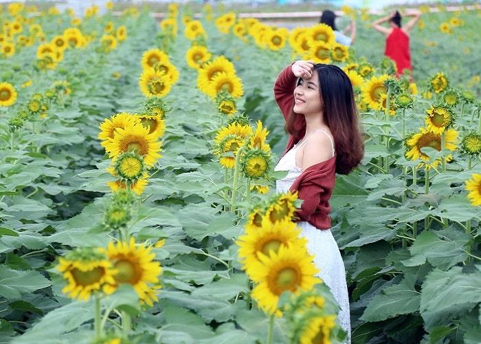 Cánh đồng hoa hướng dương - Địa điểm chụp ảnh đẹp ở Nghệ An