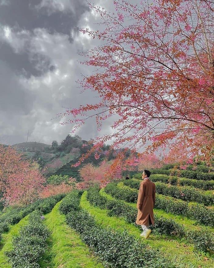 đồi chè ô long sapa - đồi chè đẹp ở Việt Nam được 'săn lùng' nhiều nhất
