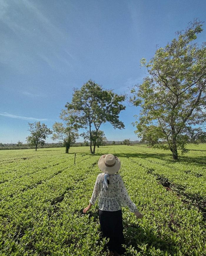 đồi chè Pleiku - đồi chè đẹp ở Việt Nam được 'săn lùng' nhiều nhất
