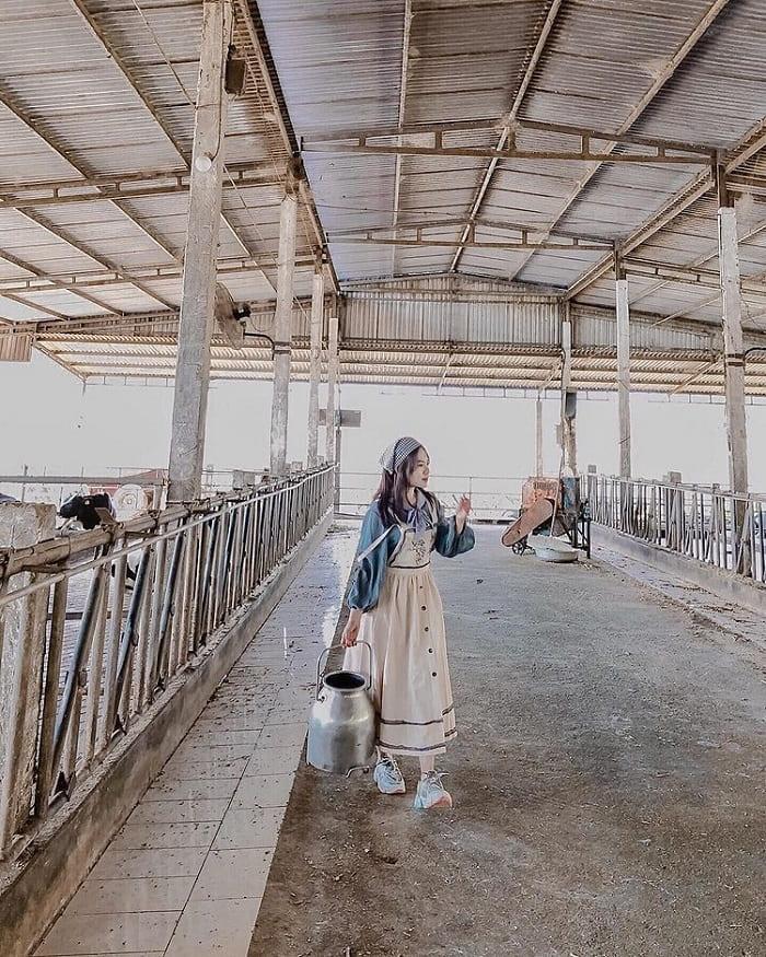 Giới thiệu trang trại bò sữa Dairy Farm