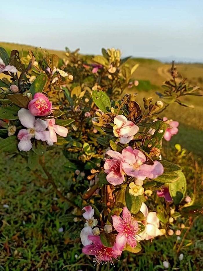 hoa sim - nét quyến rũ tại thảo nguyên Bùi Hui