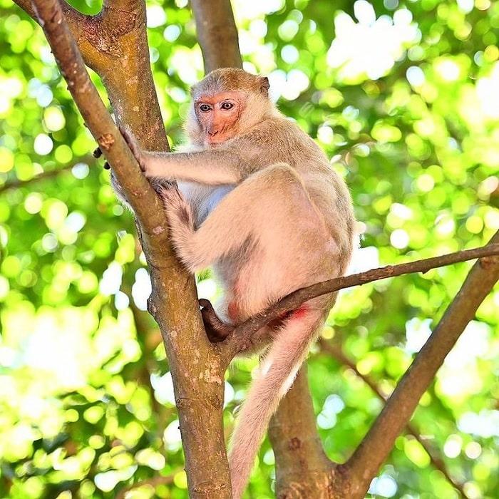 Đảo Khỉ Cát Bà có nhiều khỉ