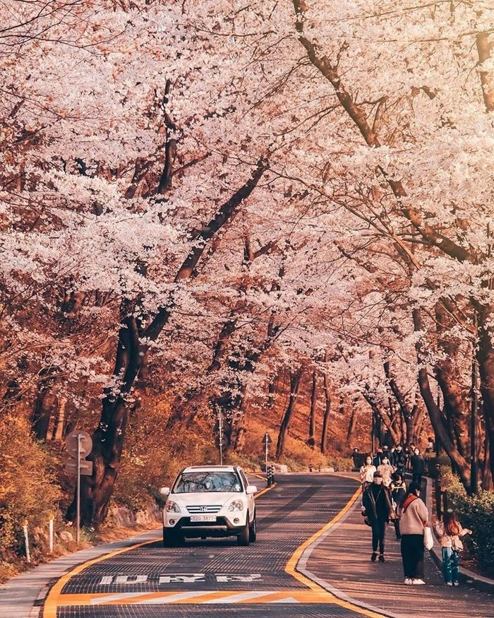 Namsan is a beautiful place to see cherry blossoms in Korea