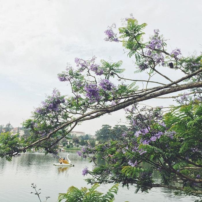 Một góc Hồ Xuân Hương mùa phượng tím Đà Lạt