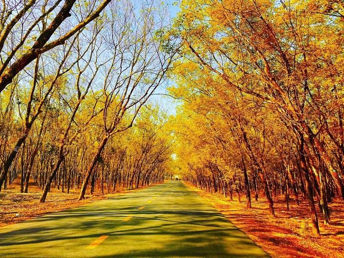 mùa thu - thời điểm đẹp nhất của rừng cao su ở Tây Ninh
