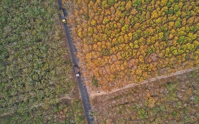 diện tích lớn - điểm nổi bật của rừng cao su ở Tây Ninh