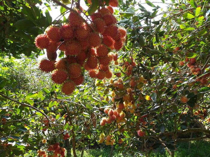 Check in Quy Ben Tre alcohol - Rambutan garden