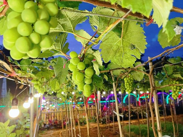 buổi tối - không gian lung linh tại vườn nho Long Khánh Đồng Nai