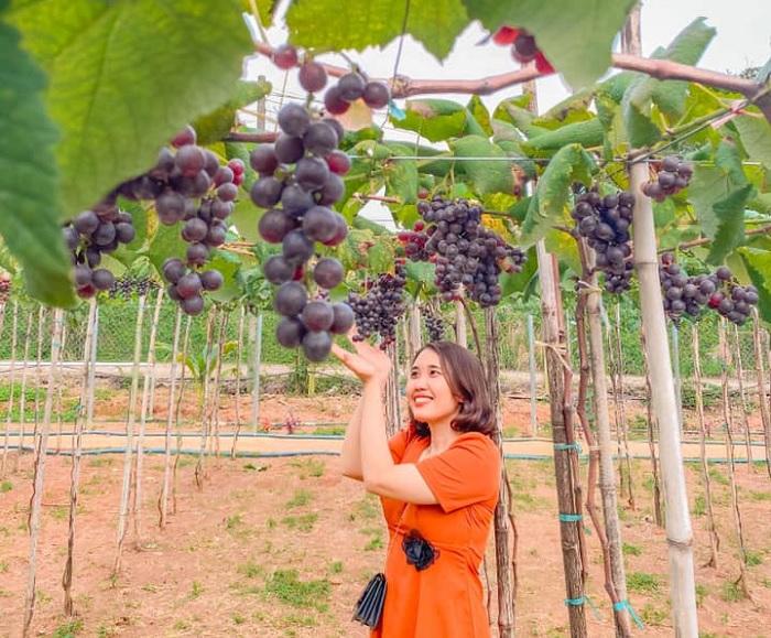 nho trĩu quả - điểm nhấn của vườn nho Long Khánh Đồng Nai