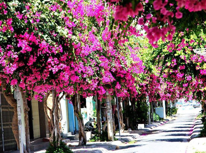 Con đường hoa giấy đẹp nhất Nha Trang 1