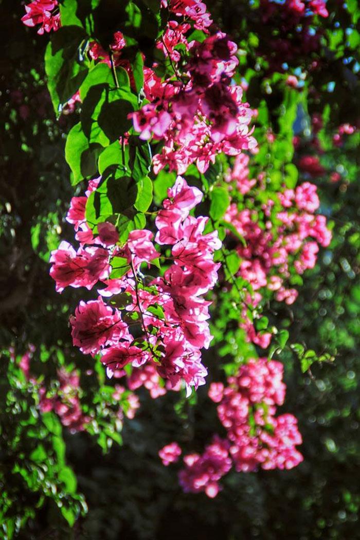 Con đường hoa giấy đẹp nhất Nha Trang 3