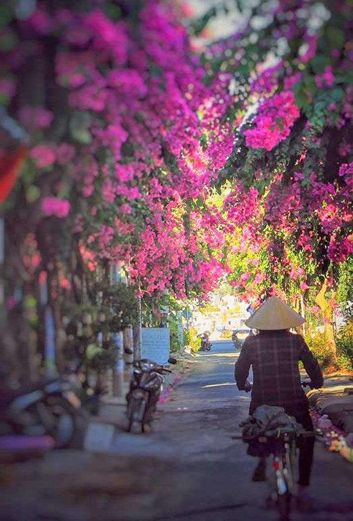 Con đường hoa giấy đẹp nhất Nha Trang 4