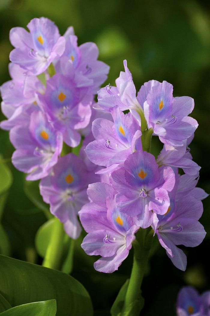 Purple hyacinth flower season in May