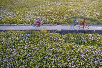 Tháng 5 mùa hoa lục bình tím khoe sắc trên mọi miền quê