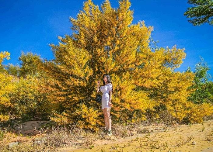 Rừng hoa keo lá tràm - Địa điểm du lịch ở Mũi Né