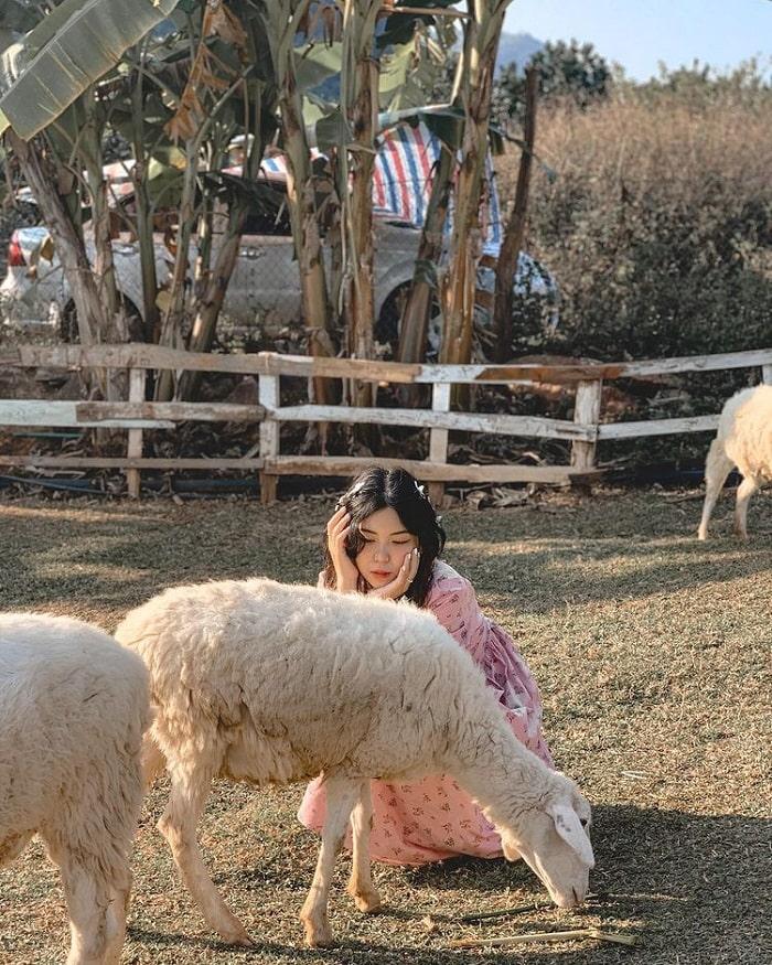 Đồng cừu vui vẻ ở khu du lịch Happy Land Mộc Châu
