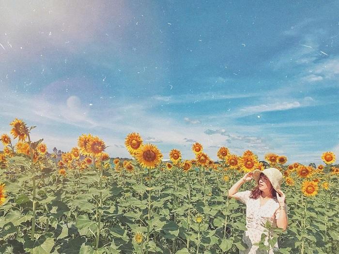 vàng rực rỡ - điểm thu hút của vườn hoa hướng dương gần núi Bà Đen