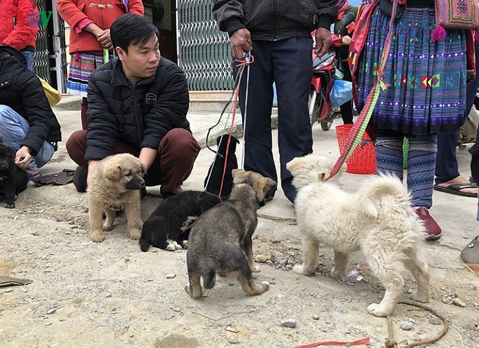 What to buy at Bac Ha market?  Bac Ha Dog - A gift to buy when coming to Bac Ha