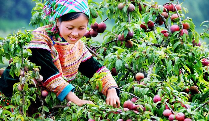 What to buy at Bac Ha market?  Bac Ha plum - The fruit you should buy when coming to Bac Ha