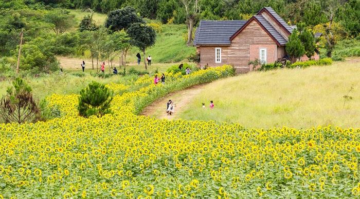 Cánh đồng hoa hướng dương ở Đà Lạt - du lịch Đà Lạt mùa nào đẹp