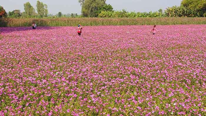 thời điểm du lịch An Giang lý tưởng - cánh đồng hoa dừa cạn
