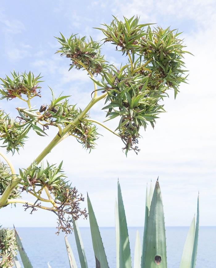 A plant native to the island - Corsica Island, France