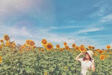 Có một vườn hoa hướng dương gần núi Bà Đen Tây Ninh đẹp tựa cổ tích!