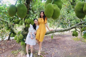 Chìm đắm trong khu vườn trái cây Ba Cống ngọt ngào, trĩu quả