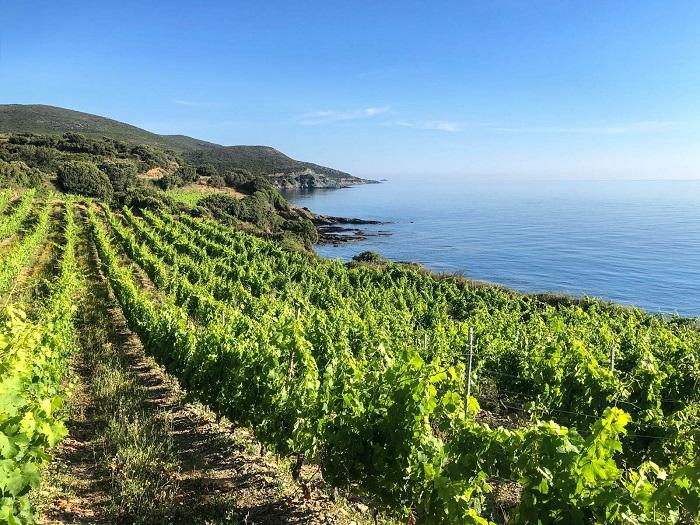 Vineyards in Corsica - Corsica Island, France