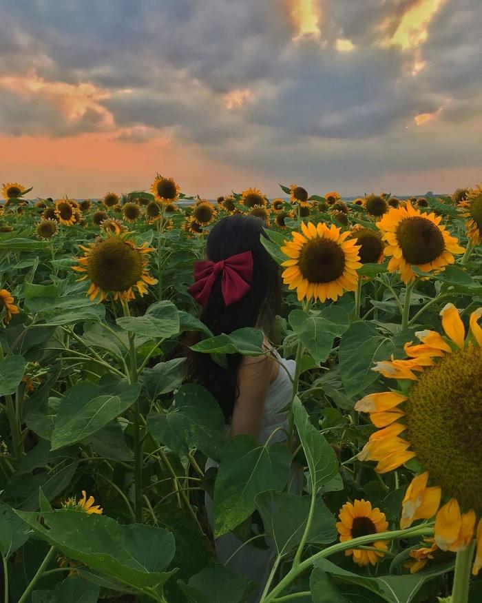 bình minh - khoảnh khắc chụp với vườn hoa hướng dương gần núi Bà Đen