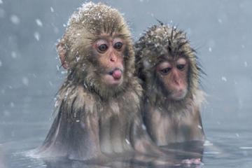 Hè này chúng mình đến công viên khỉ tuyết Jigokudani Nhật Bản đi anh