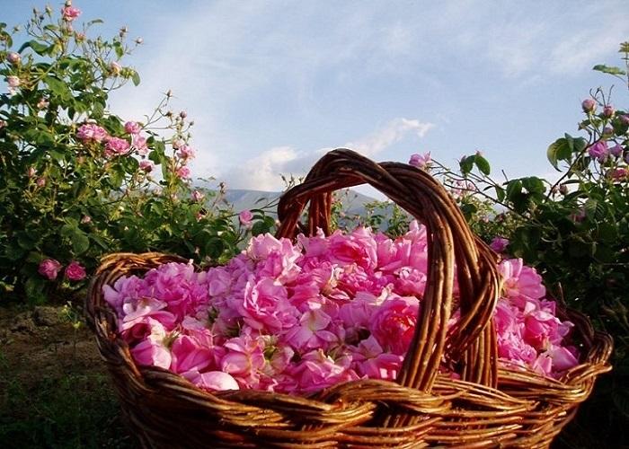 Những bí mật thú vị về hoa hồng Bulgaria - loài hoa tuyệt sắc của tình yêu