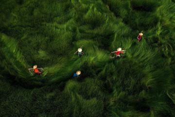 Cộng đồng mạng quốc tế được phen 'dậy sóng' vì bộ ảnh đồng cỏ lác Việt Nam