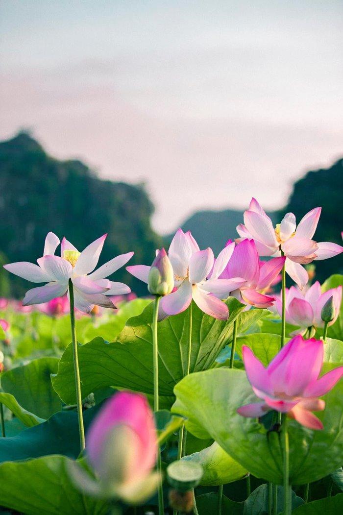 check-in mùa sen Hang Múa