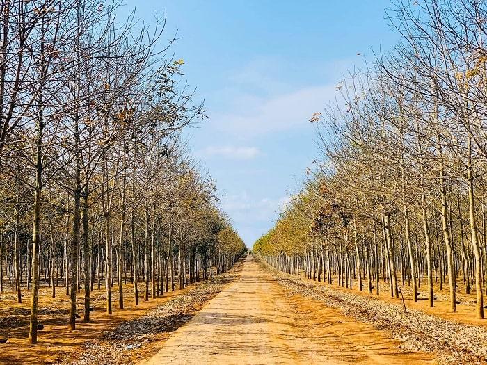 mùa thu - thời điểm lãng mạn của rừng cao su ở Đắk Lắk