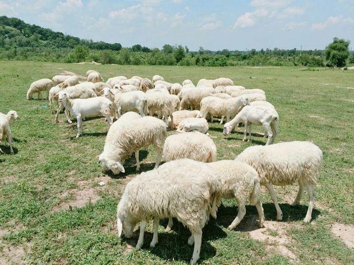 Kinh nghiệm du lịch đồng cừu Suối Nghệ chụp những bức hình xinh lung linh