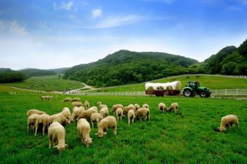 Lạc trôi tại trang trại cừu Daegwallyeong lãng mạn và cuốn hút