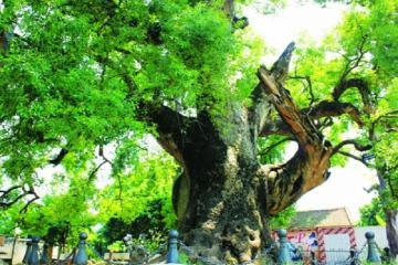 Cây dã hương nghìn năm tuổi - 'thần mộc' độc nhất vô nhị của tỉnh Bắc Giang