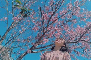 Thỏa sức 'sống ảo' tại vườn anh đào Mường Phăng đẹp nhất Điện Biên