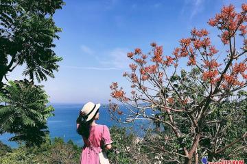 Hè này nhớ rủ nhau đi săn hoa ngô đồng Cù Lao Chàm đang vào mùa cực đẹp!