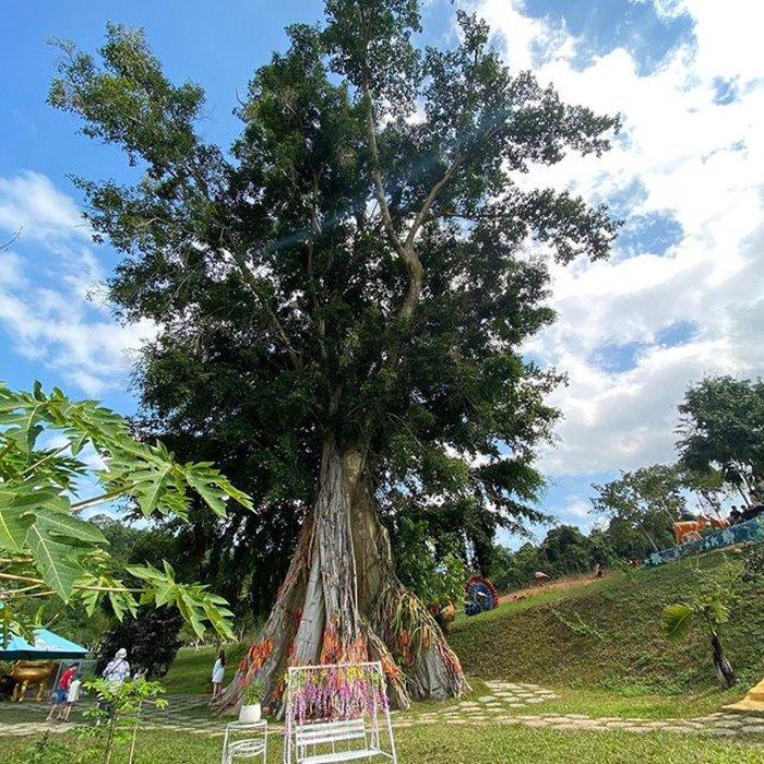 Myrrh tree in Yang Bay Park