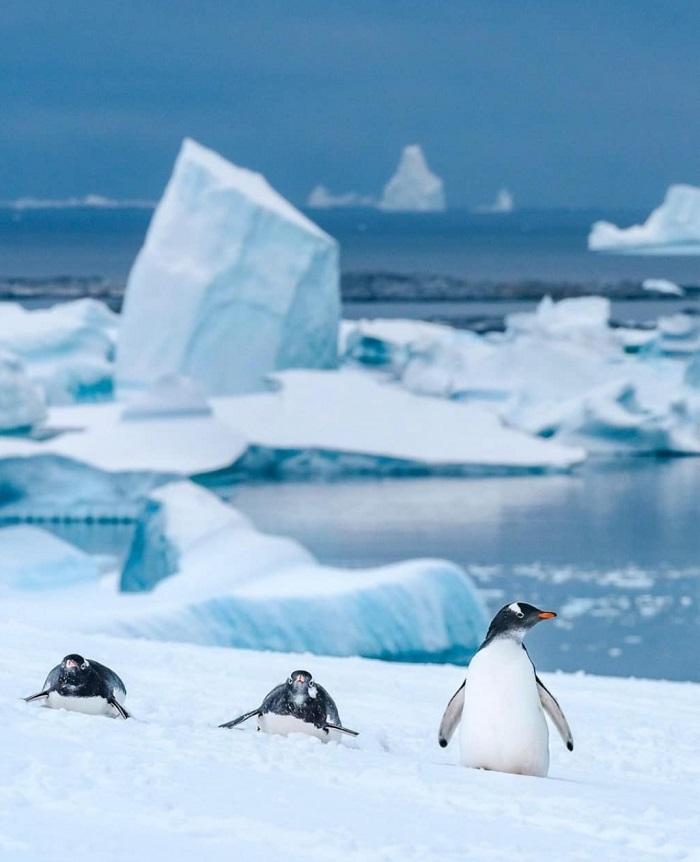 Chim cánh cụt ở Nam Cực - Du thuyền Nam Cực