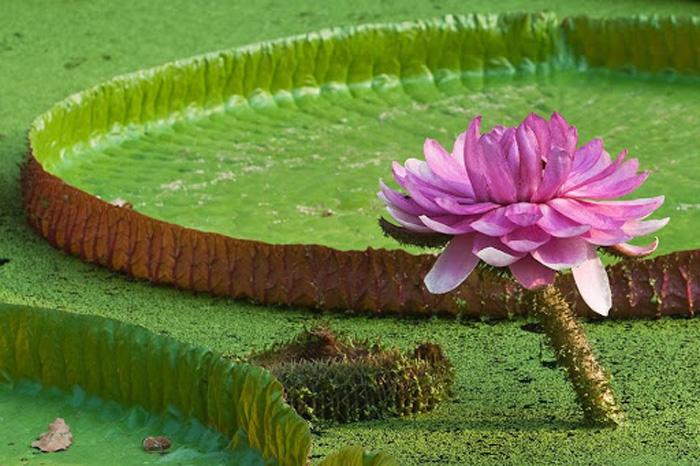 Viếng chùa Lá Sen - Hoa sen