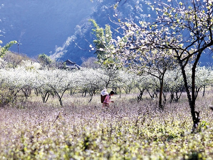 What is the most beautiful season to travel to Moc Chau - spring?